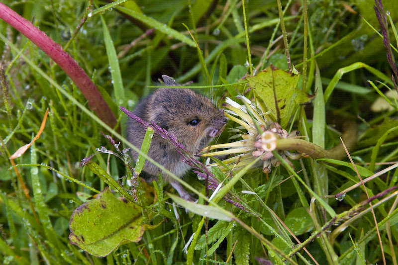 Field Mouse Eating Flower