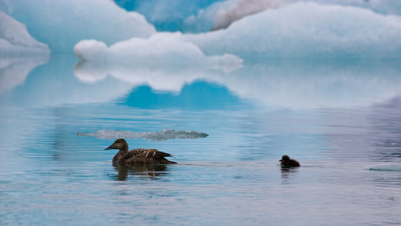 Common Eider And Ducklng Swimming In Jökulsárlón