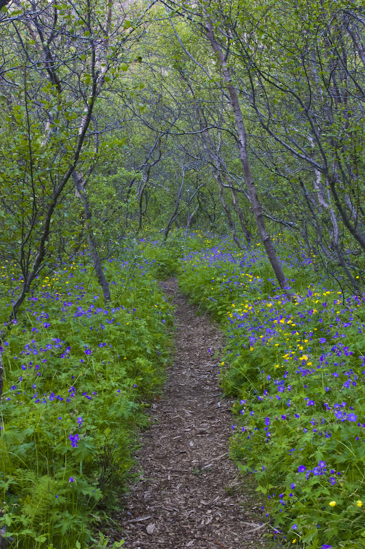 Flower Lined Trail Through Birch Forest