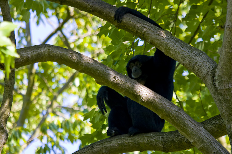 Siamang (Captive) In Tree