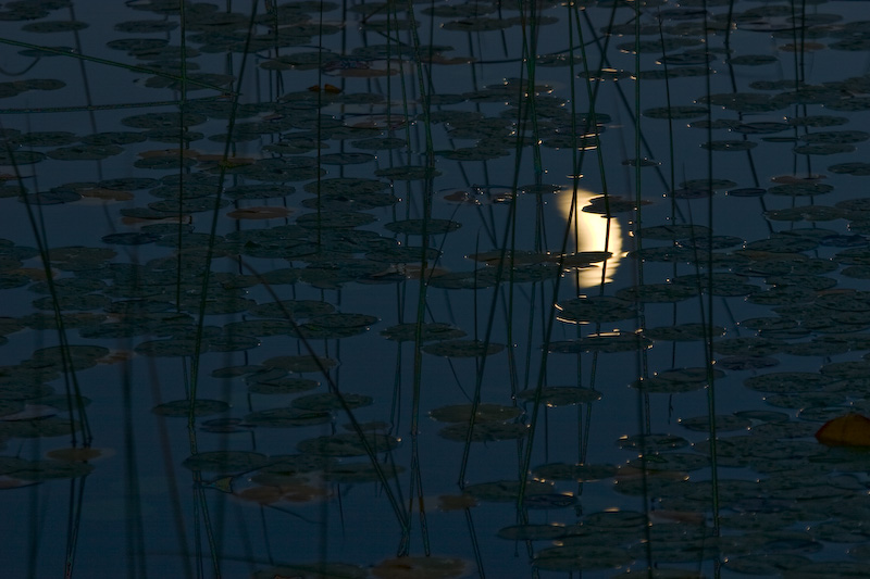 Crescent Moon Reflected In Lily Covered Water
