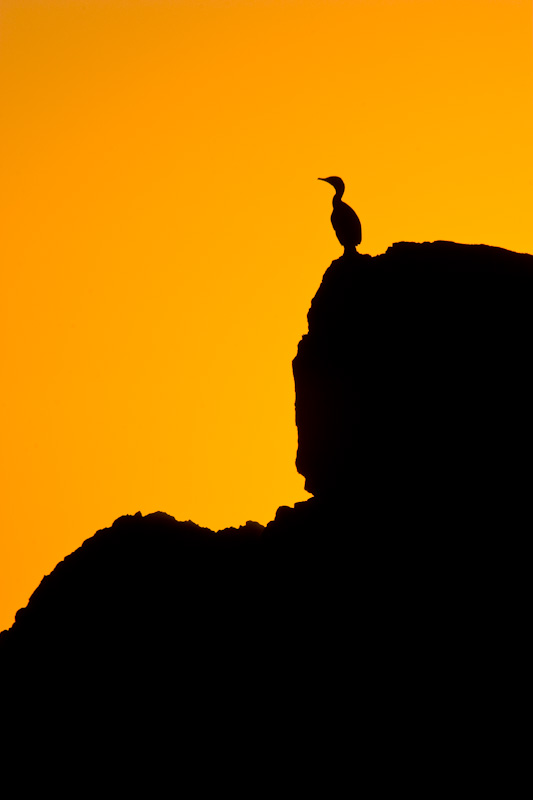 Cormorant Silhouette At Sunset