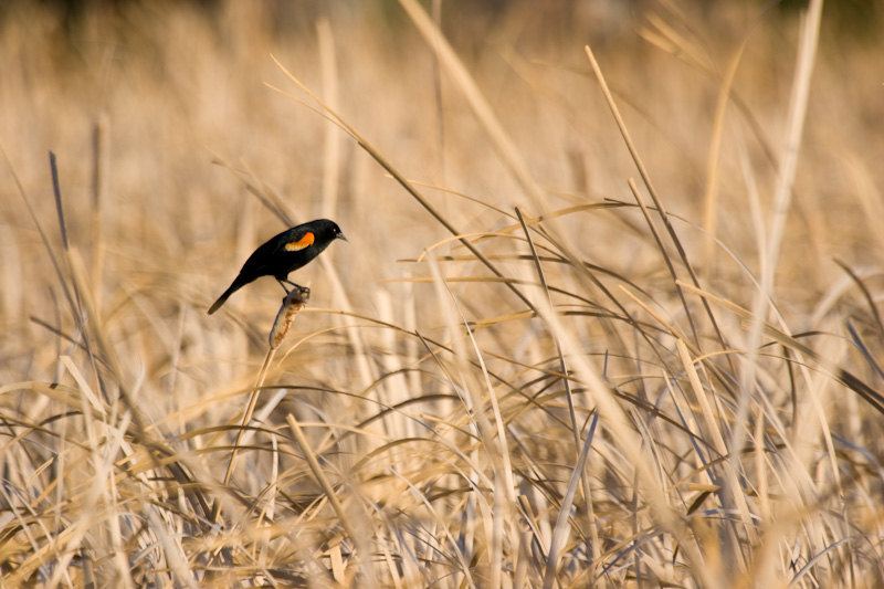 Red-Winged Blackbird In Reeds