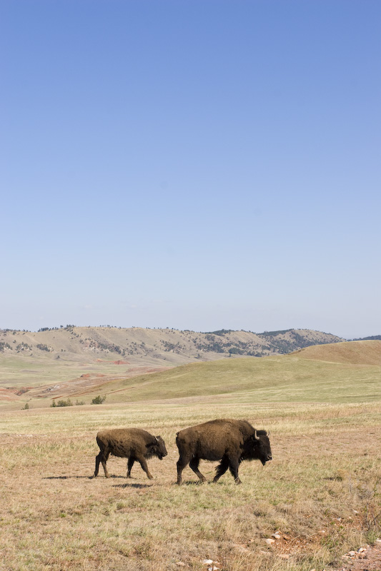 Bison And Calf On Prairie