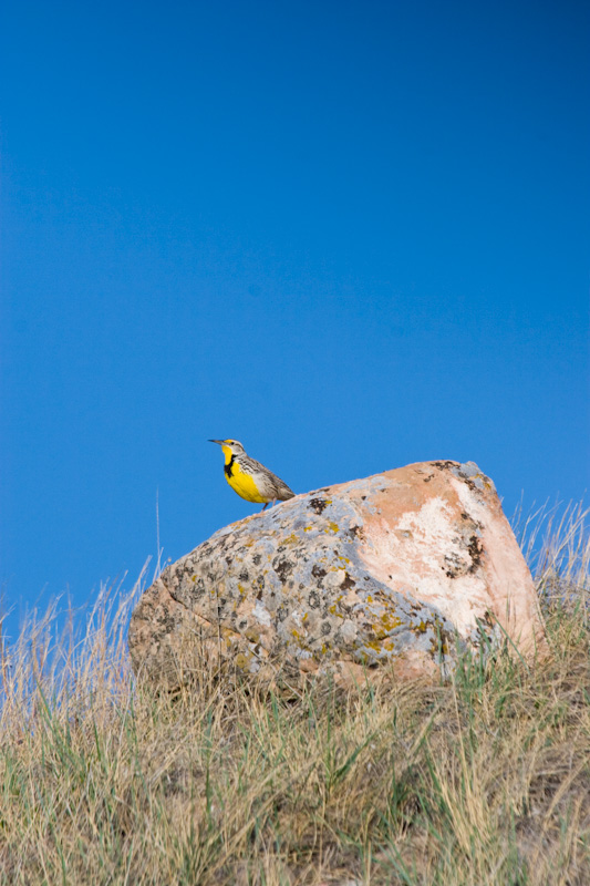 Western Meadowlark On Rock