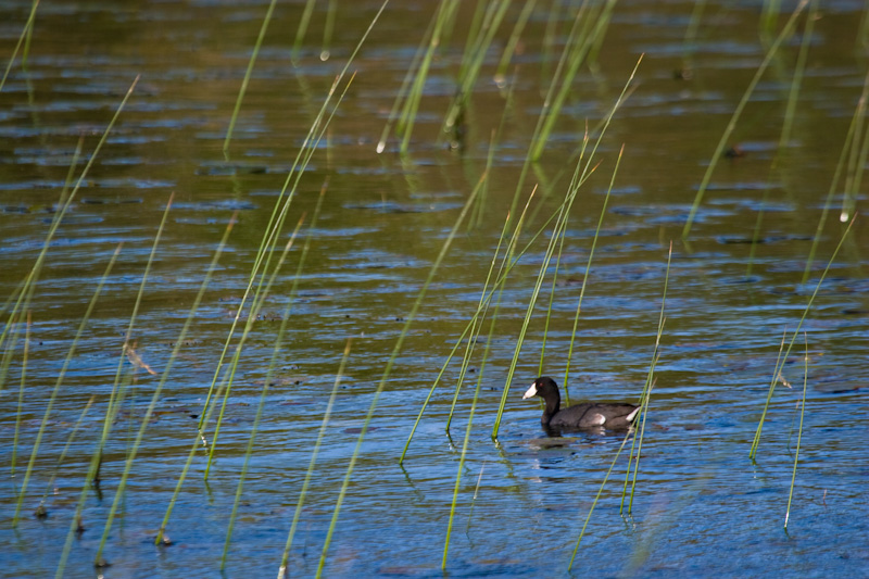 American Coot In Reeds