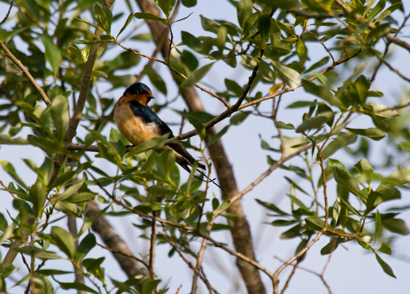 Barn Swallow In Tree