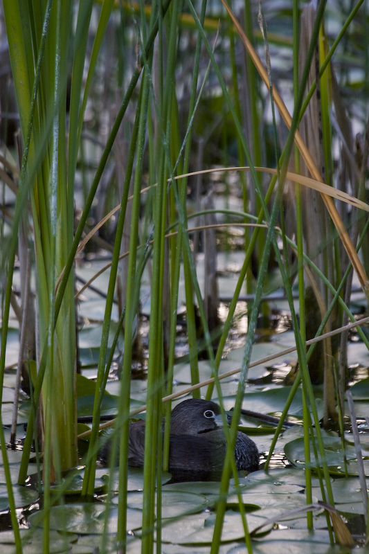 Pied-Billed Grebe In Reeds