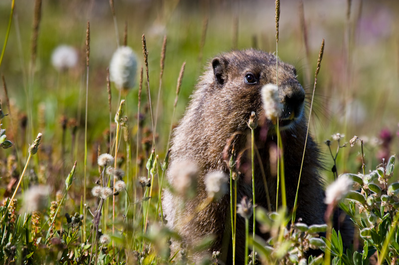Hoary Marmot In Wildflowers