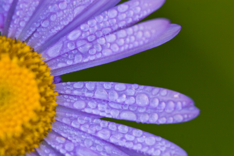 Dew Drops On Subalpine Daisy