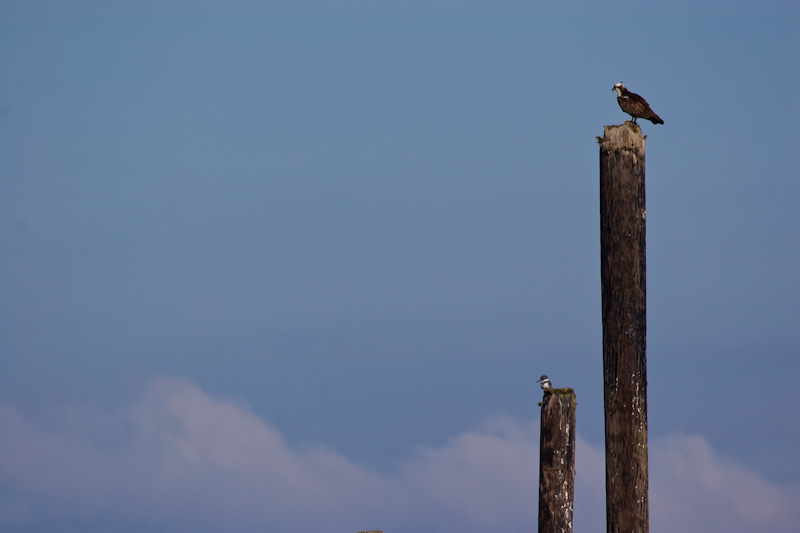 Osprey And Belted Kingfisher On Pilings