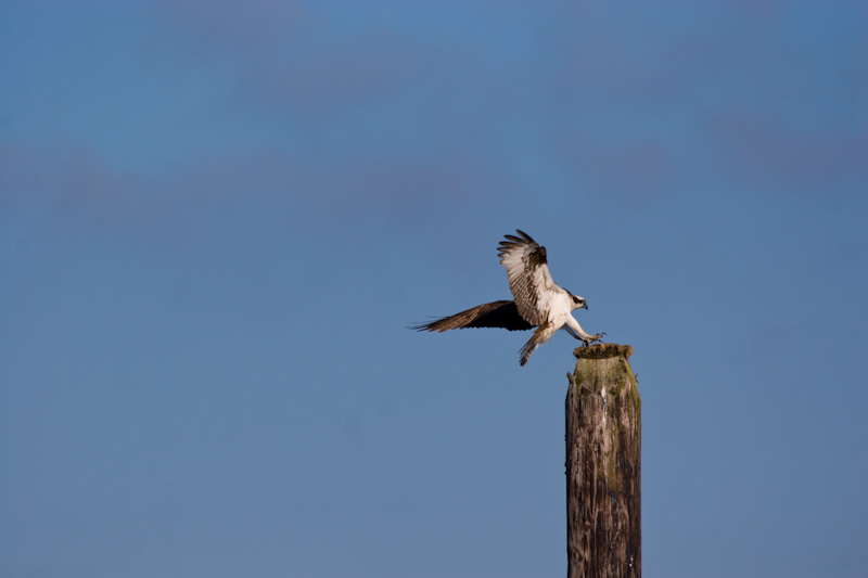Ospry Landing On Piling