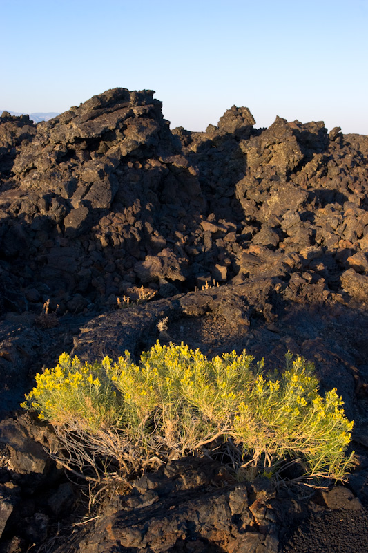 Flowers In Lava Field