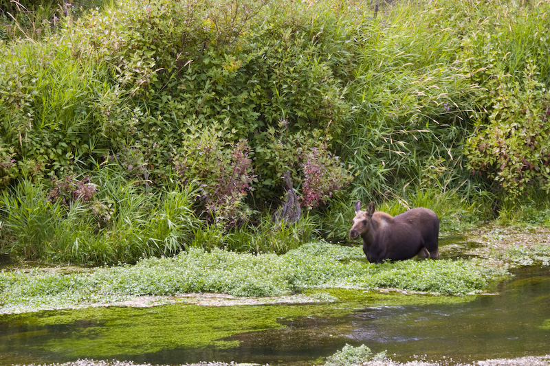 Moose In Shallows Of Snake River
