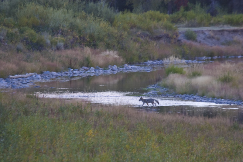 Coyote Crossing Snake River At Dusk
