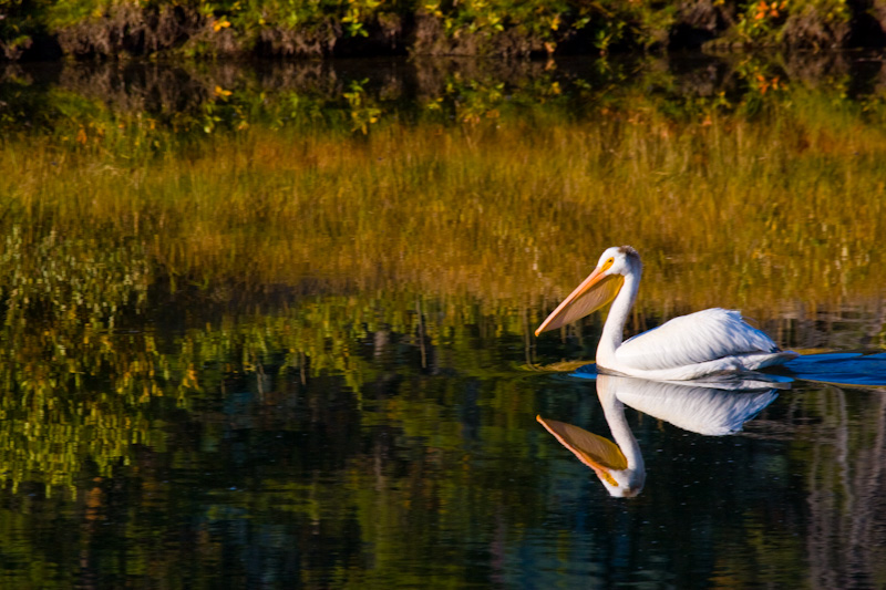 American White Pelican On Snake River