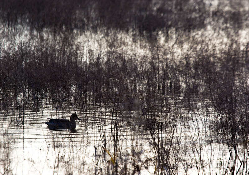 Northern Pintail Silhouette