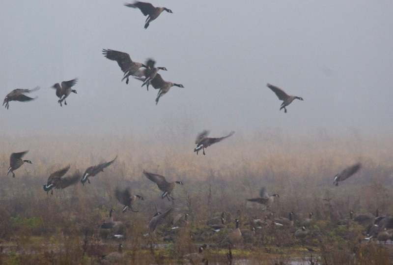 Cackling Geese In Flight