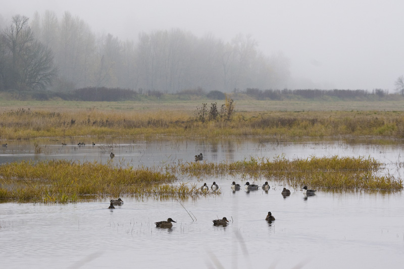Northern Pintails And Northern Shovellers In Pond