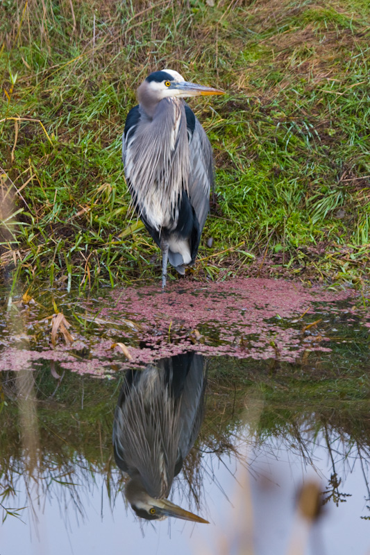 Great Blue Heron Reflected In Water