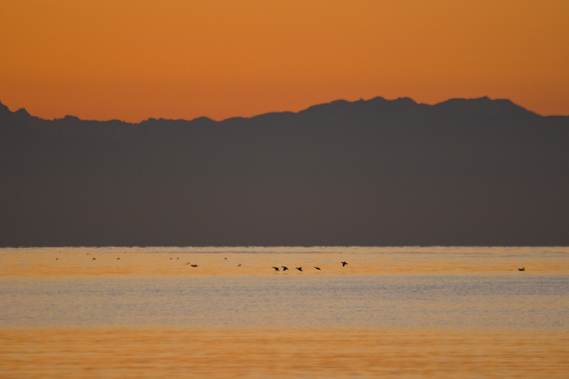 Bird Silhouettes And Olympic Mountains At Sunset