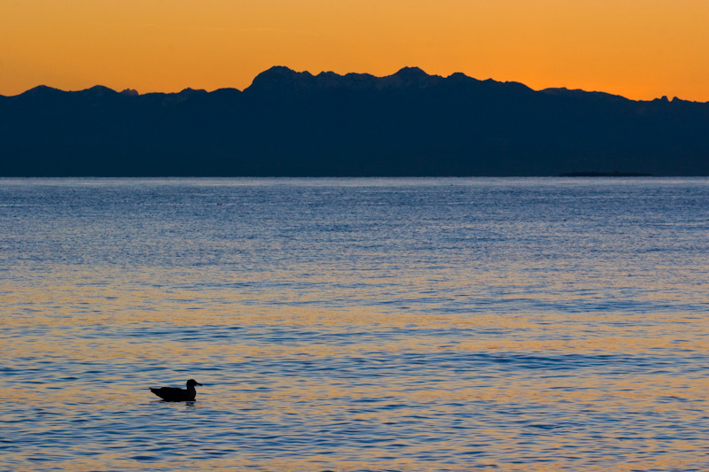 Bird Silhouette And Olympic Mountains At Sunset