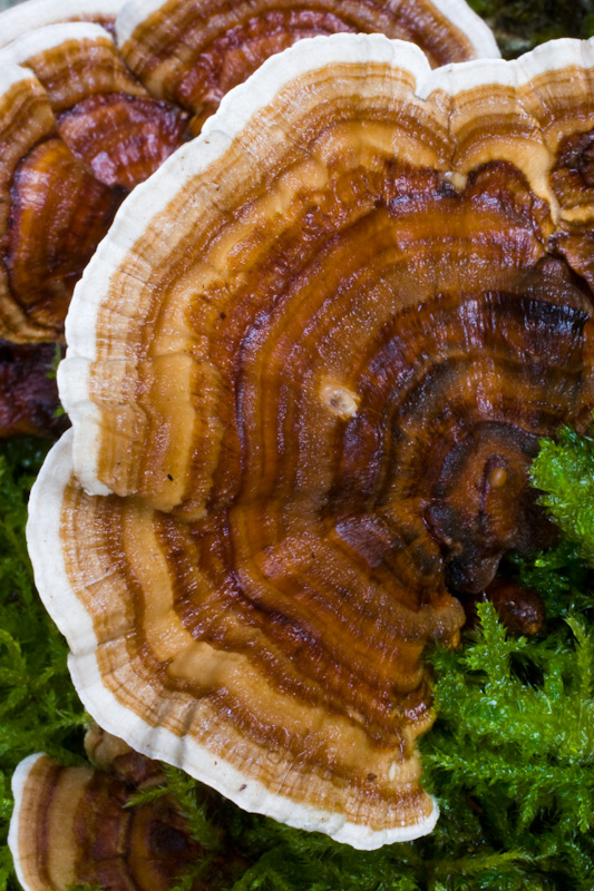 Turkey-Tail Fungus