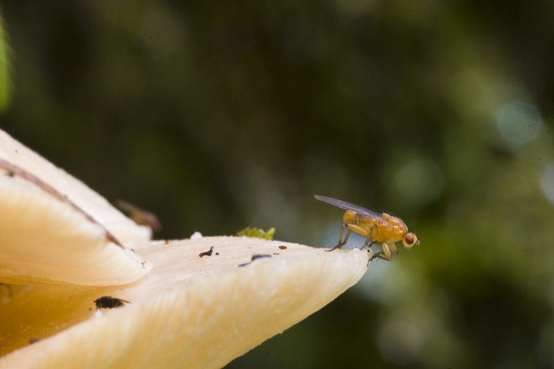 Fly On Edge Of Mushroom
