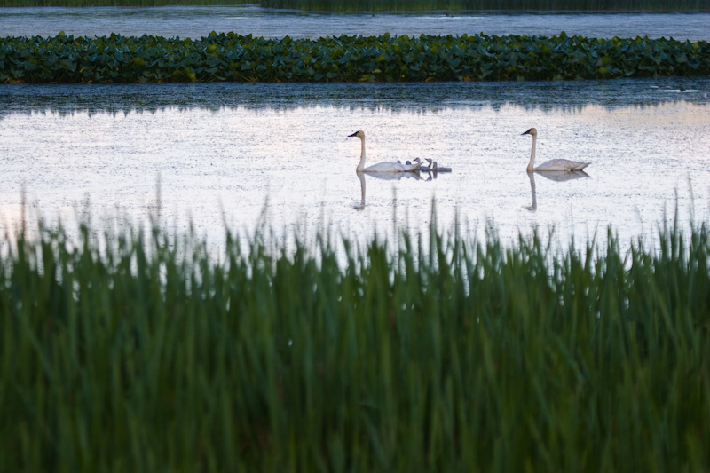 Trumpeter Swans And Cygnets