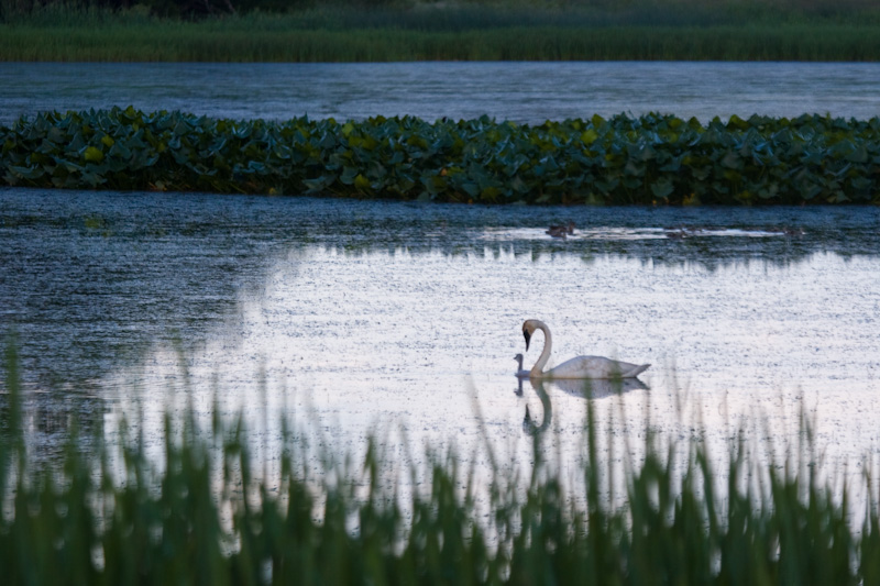 Trumpeter Swan And Cygnet