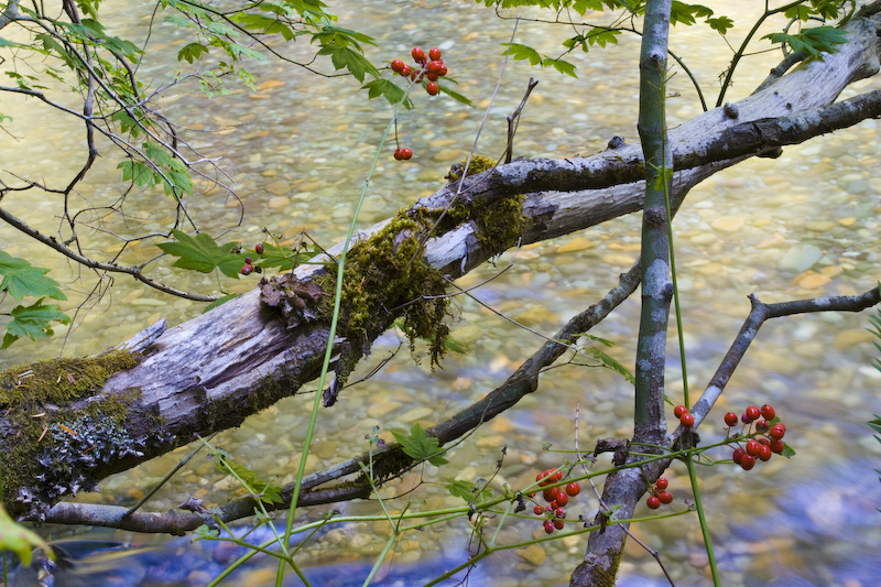 Berries And Ohanapecosh River