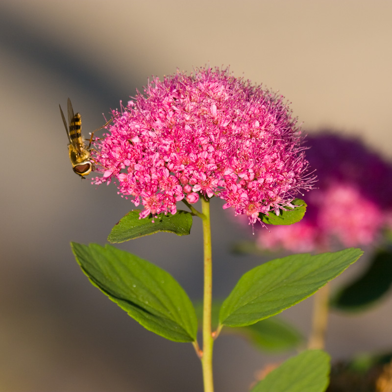 American Hoverfly On Subalpine Spirea