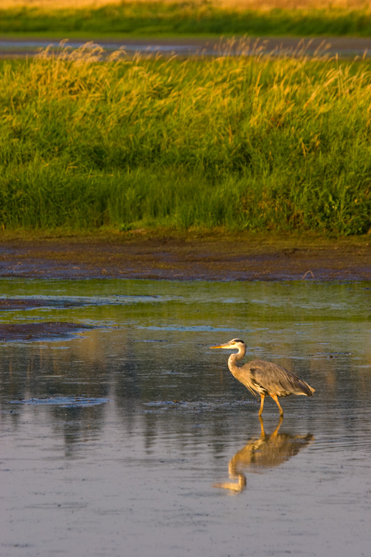 Reflection Of Great Blue Heron In Pond