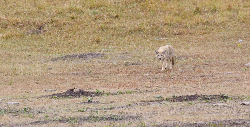 Coyote Hunting Black-Tailed Prarie Dog