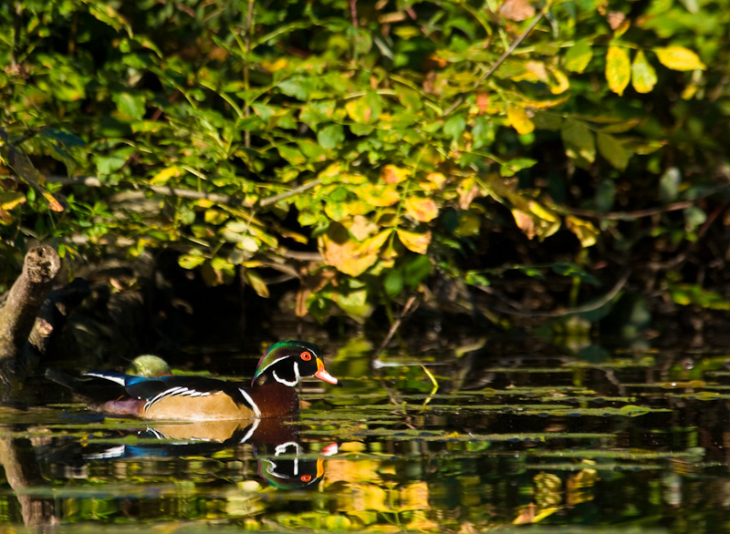 Wood Duck Reflected In Water