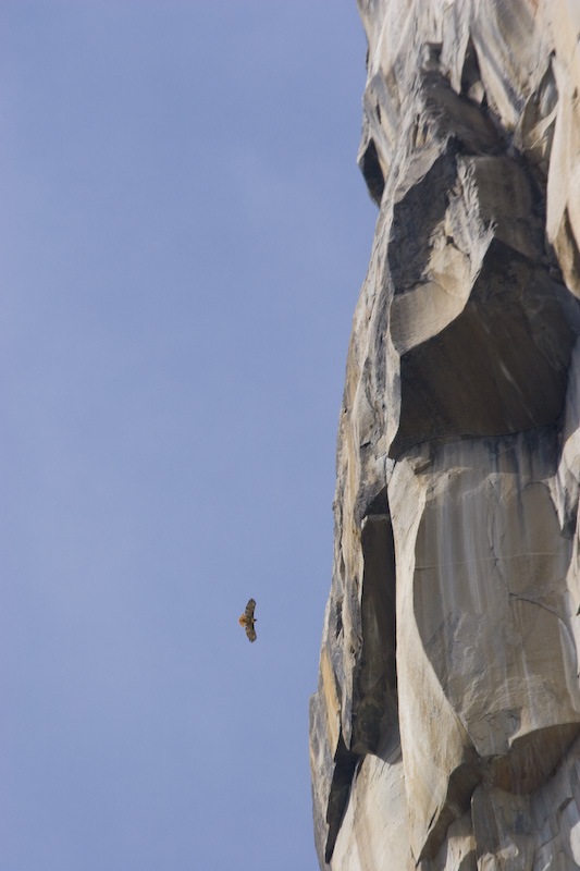 Red-Tailed Hawk And El Capitan