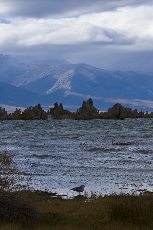California Gull On Shore Of Mono Lake With Tufa Towers In The Distance