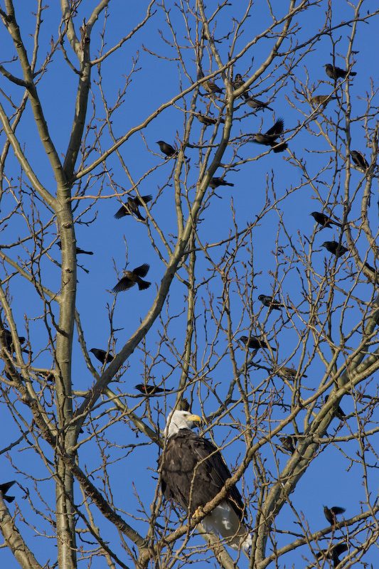 Bald Eagle And Red-Winged Blackbirds In Tree