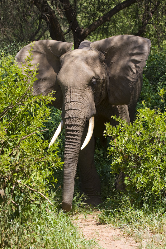 African Elephant Displaying