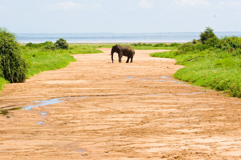 African Elephant In Dry River Bed