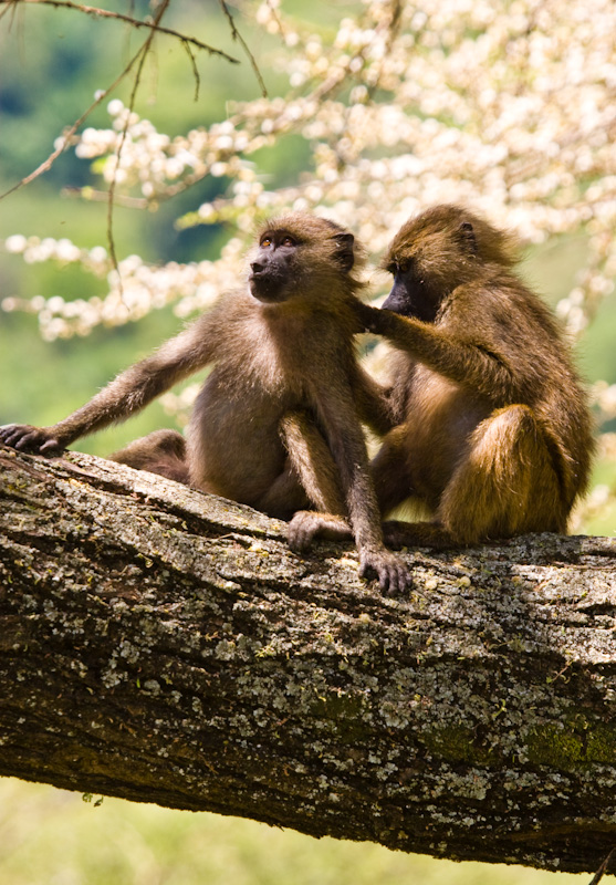 Grooming Olive Baboons