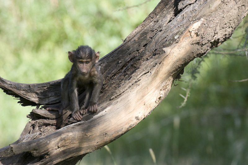 Juvenile Olive Baboon In Tree