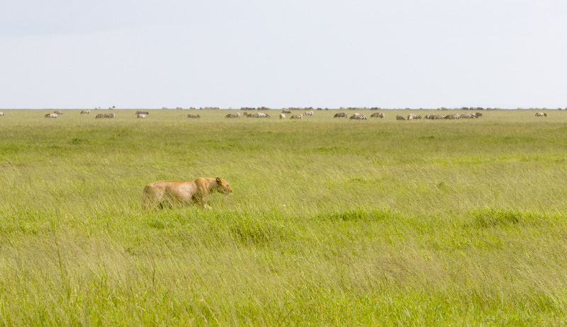 Lioness And Plains Zebra Herd