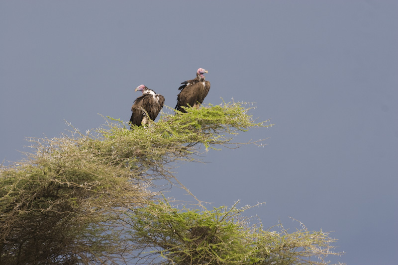 Lappet-Faced Vultures In Tree