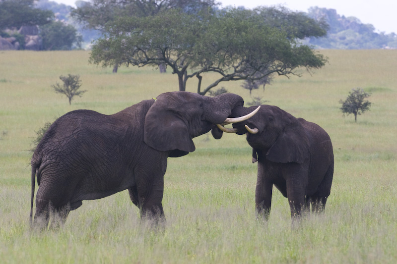 Juvenile African Elephants Playing