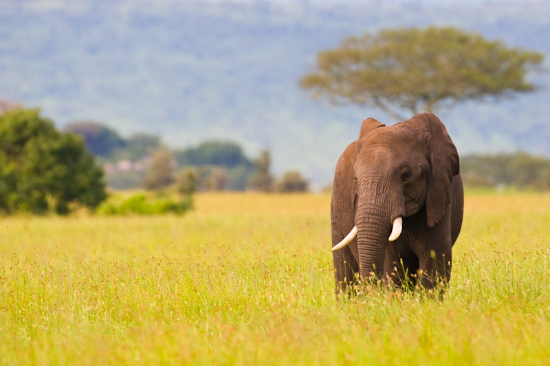 African Elephant In Grass