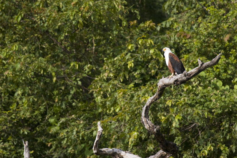 African Fish-Eagle In Tree