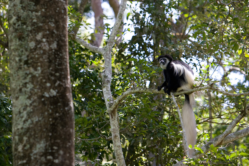 Eastern Black And White Colobus In Tree