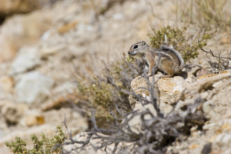 White-Tailed Antelope Squirrel