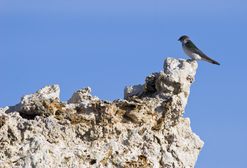 Violet-Green Swallow On Tufa Formation